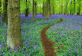 Path through Bluebell Wood in Chilterns, Bucks, UK, April
