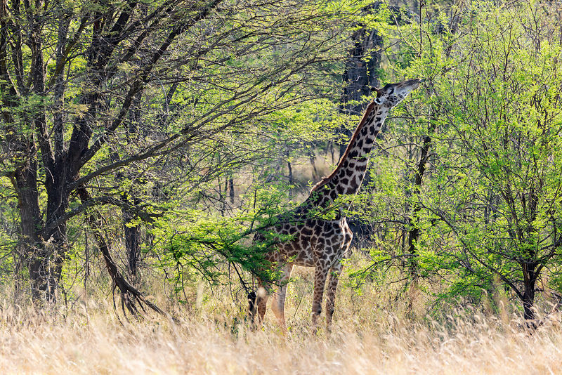 Giraffe Eating in Acacia Woodland