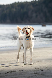 Tall lab dog on the beach with a ball in her mouth