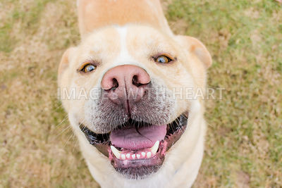 Close-up of smiling yellow dog