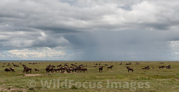 Large herd of White bearded wildebeest (Connochaetes mearnsi/albojubatus) with young, Serengeti National Park, Tanzania; Land...