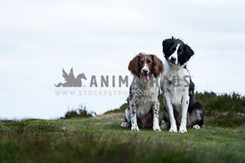 Sprollie and Working Liver and White Springer together