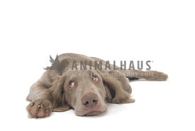 Long haired weimaraner puppy lying looking up with whale eye