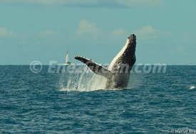 Humpback whale in New-Caledonia