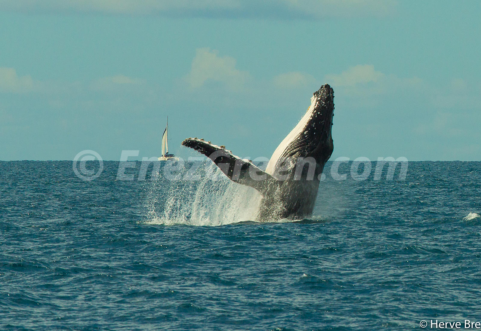 Humpback whale jump and sailing boat