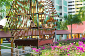 Red-whiskered Bulbuls in cages(Pycnonotus jocosus) at regular sunday gathering i suburb of Singapore