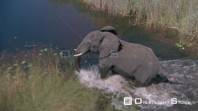 Aerial wide shot one elephant running out of tall grass into shallow water, turns and heads back into tall grass Zimbabwe