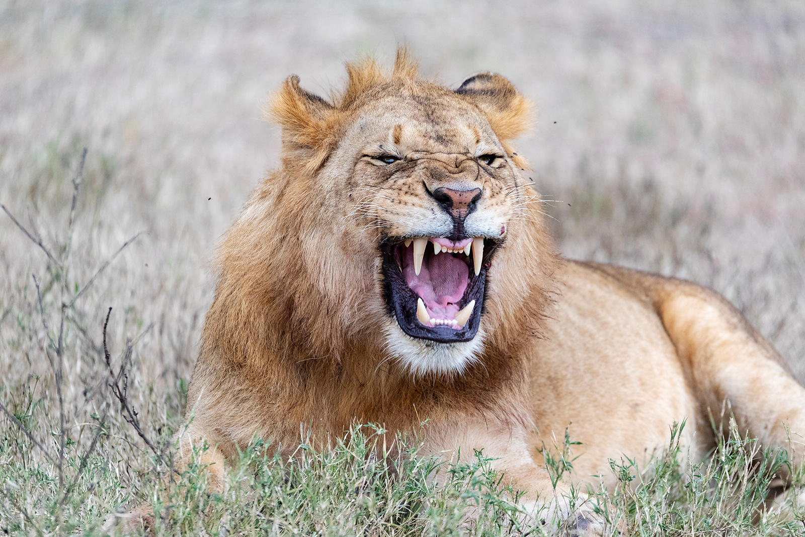 Young Male Lion Yawning