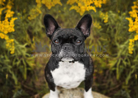 Brindle Pied French Bulldog ouside in yellow flower garden looking up