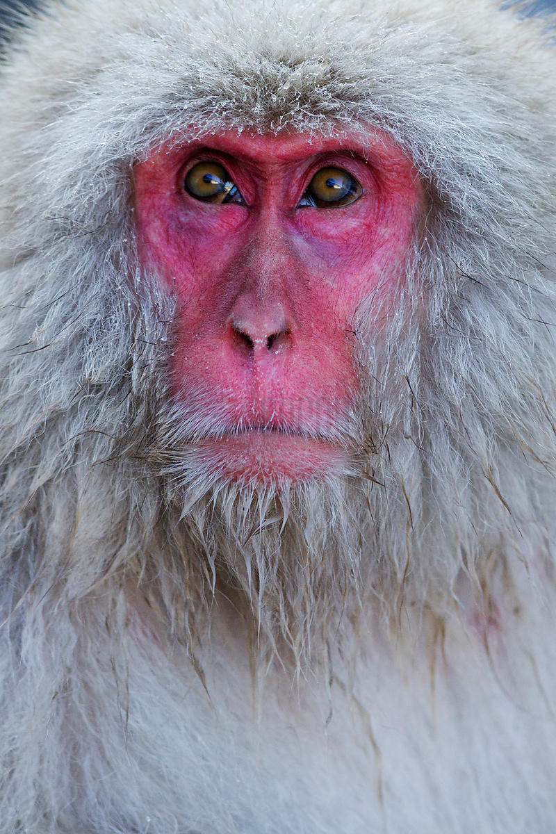 Japanese Macaque Portrait