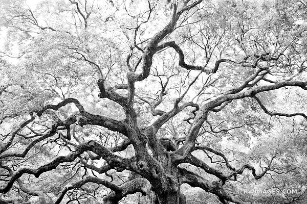 ANGEL OAK TREE JOHNS ISLAND SOUTH CAROLINA BLACK AND WHITE