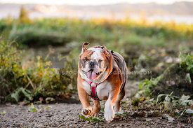 english bulldog running on beach