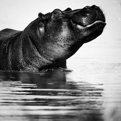 4204-Hippo_in_the_water_Laurent_Baheux