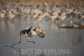 Common Crane, Grus grus, wintering at  the Hula Lake Park, known in Hebrew as Agamon HaHula in the Hula Valley Northern Israe...