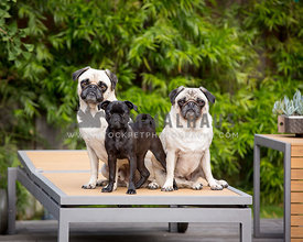 three dogs on a lounge chair with eye contact