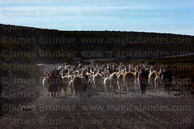 Aymara women herding llamas along dirt road, Isluga National Park, Region I, Chile