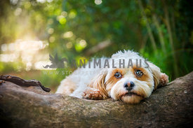 Maltese Cross resting head and paws on log