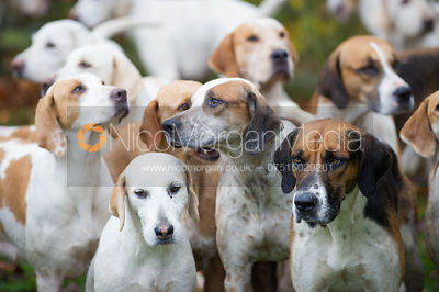 Cottesmore hounds at the meet - The Cottesmore at John O'Gaunt 24/11/12