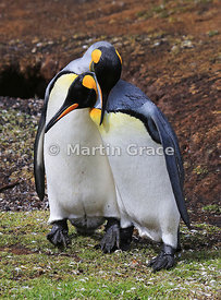 Pair of King Penguins (Aptenodytes patagonicus) displaying to each other as part of their courtship ritual, Volunteer Point, ...