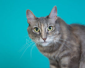 Close-up of Grey Domestic Cat with Green Eyes Against Blue Background