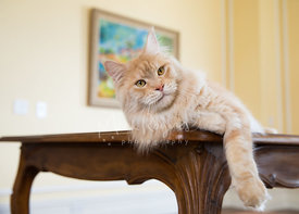 Red Silver Tabby Maine Coon Cat Lying on Table leaning to side with paw hanging