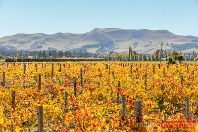 Vineyards, Waipara valley, North Canterbury, New Zealand