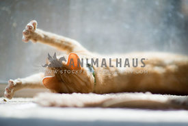 Orange tabby cat stretching in sun