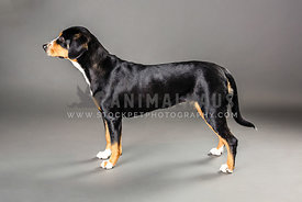 Entlebucher standing in profile in studio