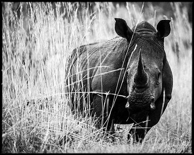 8562-White_rhino_in_the_grass_South_Africa_2008_Laurent_Baheux