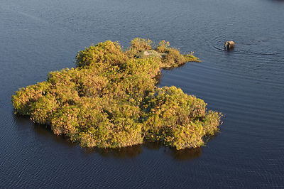 Aerial view of African elephant (Loxodonta africana) wading through water to small island of vegetation, Okavango Delta, Bots...