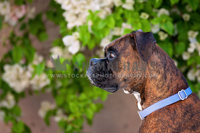 Boxer dog in profile in a garden