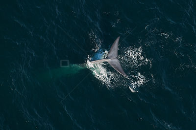 Blue whale (Balaenoptera musculus) aerial view of whale fluking / diving, Sea of Cortez, Gulf of California, Baja California,...