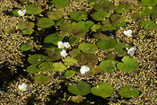Group of white Frogbit flowers surrounded by Duckweed