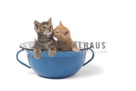 Two kittens in blue bowl kiss with white background