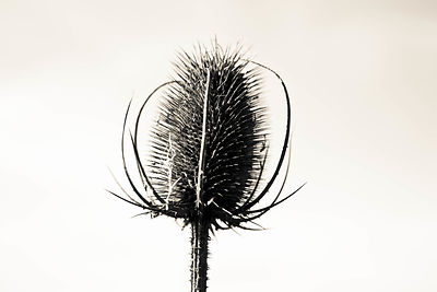 Limited edition Giclée fine art print of  dried thistle head