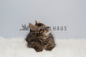 tabby kitten on white fur looking up