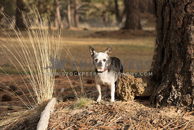 little senior Chihuahua dog with collar stand in rustic outdoor setting