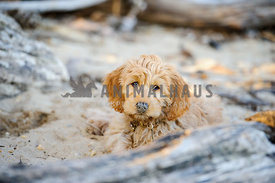 goldendoodle puppy on beach with sand on nose