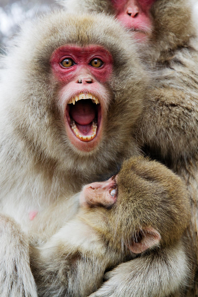 Japanese Macaque Offering Threat Gesture