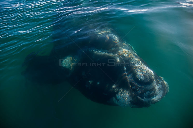 Southern right whale (Eubalaena australis) close to the surface with barnacles on skin, Valdes Peninsula, Chubut, Patagonia, ...