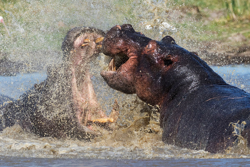 Fighting Male Hippos