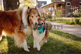 sheltie and collie chewing on same blue toy in neighborhood