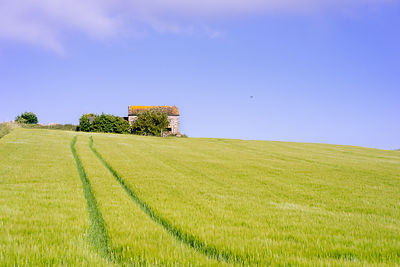 Summer barn in barley field