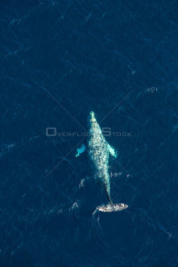 North Pacific right whale (Eubalaena japonica) swimming near surface, aerial view, Channel Islands National Park, California,...