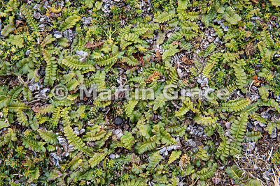 Small Fern (Blechnum penna-marina), Pebble Island, West Falkland