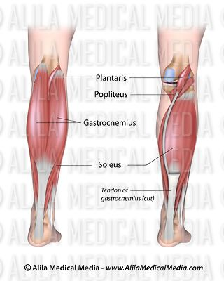 Lower leg muscles posterior