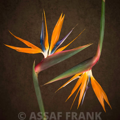 Two Heliconia Flowers