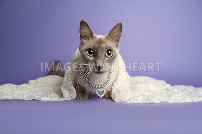 Closeup shot of a Siamese cat in cream lace on a purple background