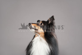 profile head shot of shetland sheepdog looking left on a gray background