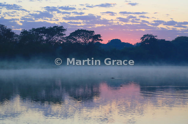Pantanal dawn with mist rising off the water and Yacaré Caimans (Jacaré) (Caiman yacare), River Cuiabá, Mato Grosso, Brazil